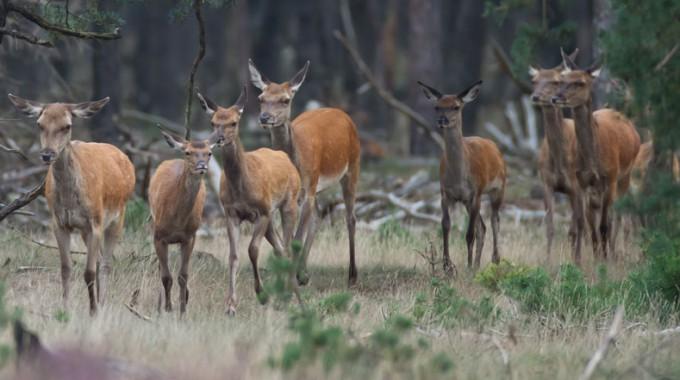 Wildtier Ohne Grenzen? – Rotwild In Schleswig-Holstein