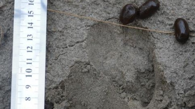 Unterart Des Rothirsches In Afghanistan Wiederentdeckt