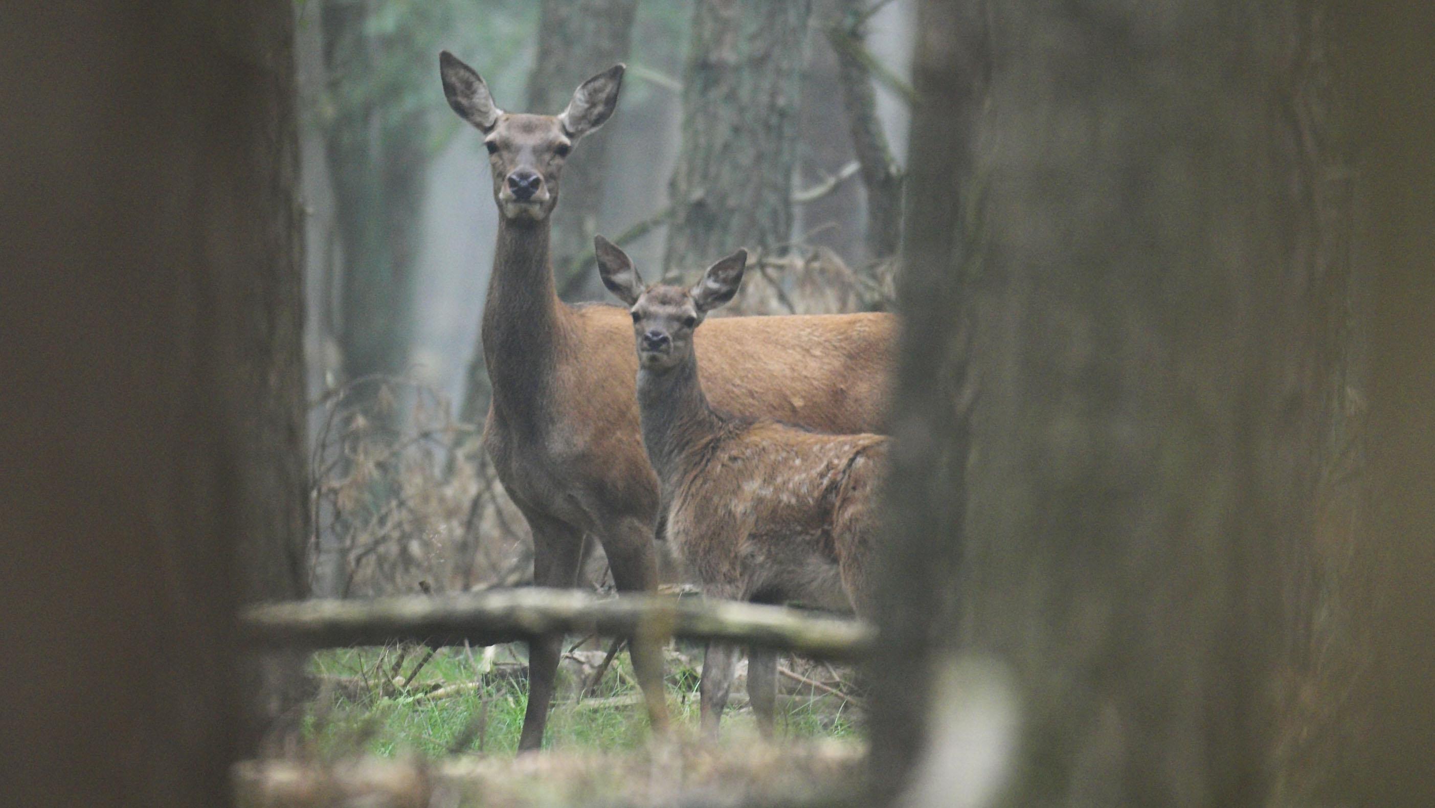 Bewegung Im Streit über Rotwild Im Erzgebirge