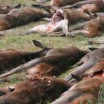Rotwild Jagdstrecke