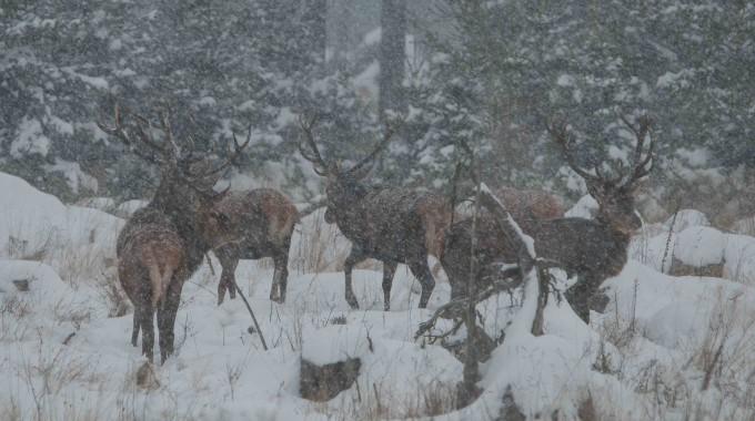 Rothirsche Im Schneetreiben