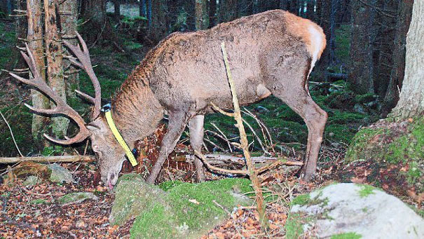 Beitragsbild GPS Rothirsch Nationalpark Nordscharzwald