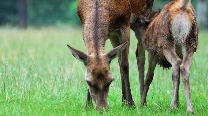 Tierschutzgerechter Alttier-Abschuss