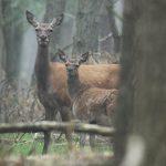 Wild und Wald Alttier Kalb im Bestand