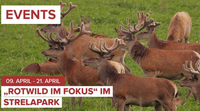 Beitragsbild Rotwildausstellung Strelapark